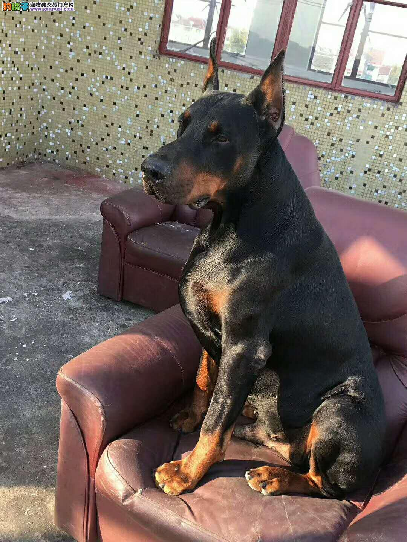 德系纯种杜宾犬 颜色全专业犬舍繁殖幼犬带证书3