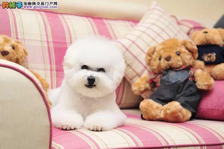 棉花糖大比熊年底优惠全场 先到先得 直接视频看狗