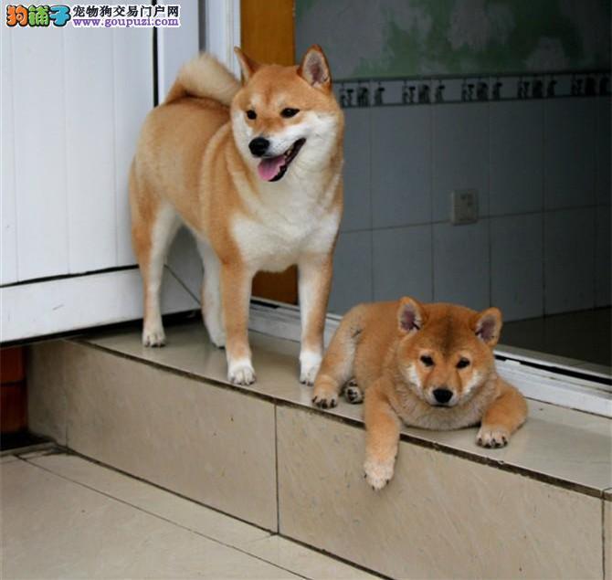 纯种柴犬 纯种柴犬幼犬 北京那里卖柴犬4