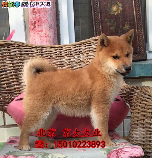 纯种柴犬 纯种柴犬幼犬 北京那里卖柴犬2