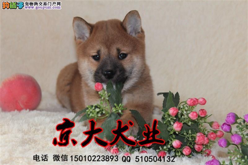 纯种柴犬 纯种柴犬幼犬 北京那里卖柴犬1