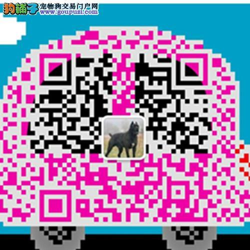 贵州昆明杜高犬价格价格 大骨架杜高犬长期供应