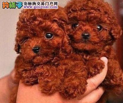精品泰迪犬出售 哪里有泰迪卖 棕色泰迪 灰泰迪