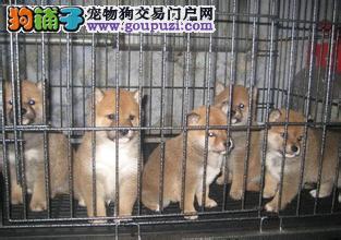 基地直销柴犬秋田,包纯种健康签养活协议多窝可选