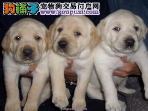 名佳宠物繁殖基地常年出售拉布拉多幼犬
