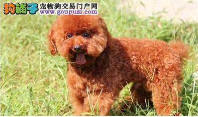 不掉毛无体臭纯种精品小体型泰迪熊犬适合家养聪明