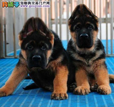 出售纯种德国牧羊犬 三窝挑选纯种健康招代理