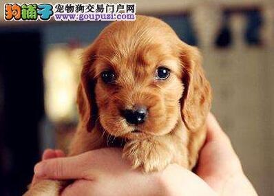 犬舍出售纯种可卡幼犬 三针疫苗两次驱虫做齐保健康