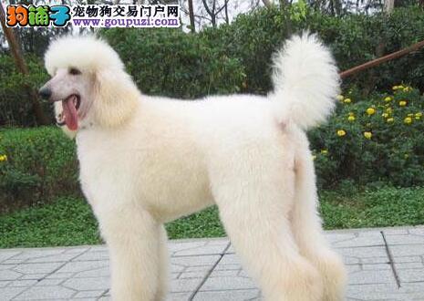 高端贵宾犬各色各品种各体型均有血统纯种健康包养活