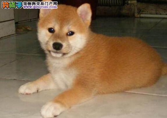柴犬精品纯种健康包养活开心伴侣13182559965犬舍直销