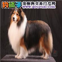 苏格兰牧羊犬13182559965聪明好训练犬舍经营多种名犬