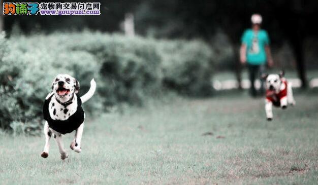 聪明优雅精品斑点13182559965各种名犬CKU认证犬舍