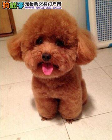 官方推荐特价出售泰迪犬高端精品各品种体型各色均有
