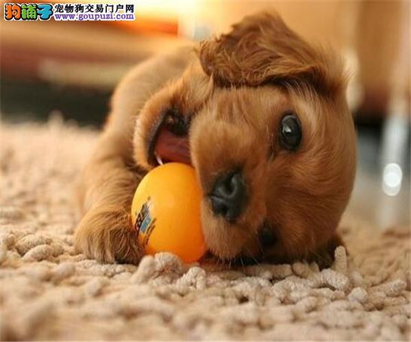 哪里有健康精品纯种可卡犬13182559965直销各种名犬