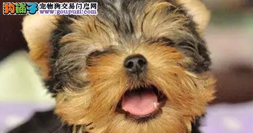 犬舍直销13182559965纯种包养活精品约克夏指导饲养