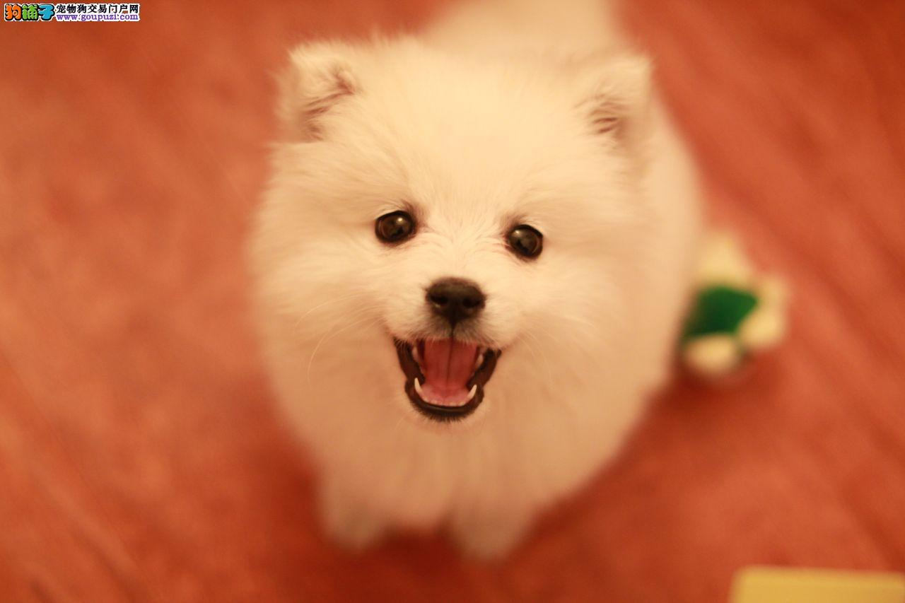 13182559965CKU认证犬舍精致纯种健康超气质银狐犬