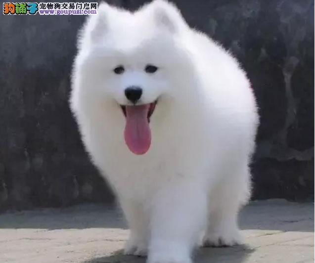 13182559965CKU专业认证犬舍直销纯种健康精品萨摩耶犬