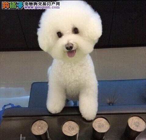 13182559965纯种健康精品CKU认证犬舍高端精品比熊犬