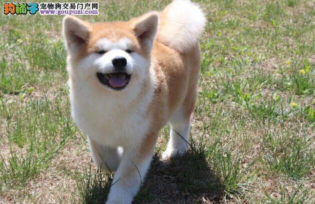 秋田犬高品质忠诚不失萌系13182559965宠物级赛级均有2