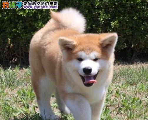 秋田犬高品质忠诚不失萌系13182559965宠物级赛级均有1