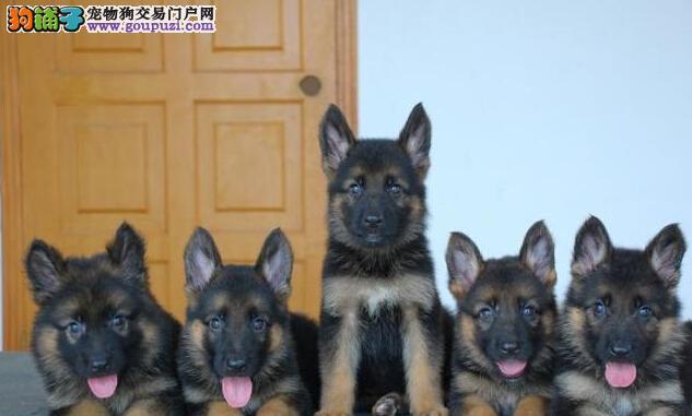 德国牧羊犬精品纯种忠心护主各品种均有13182559965
