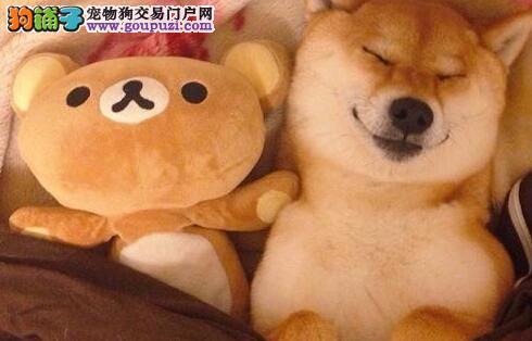 13182559965犬舍直销柴犬精品纯种健康包养活开心伴侣