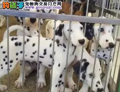 精品斑点犬聪明优雅各种名犬CKU认证犬舍出售官方推荐