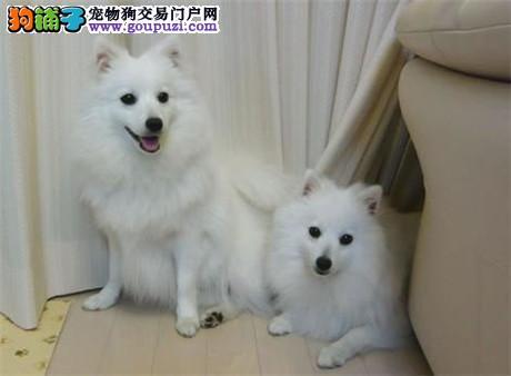 13182559965官方认证犬舍精致纯种健康超气质银狐犬
