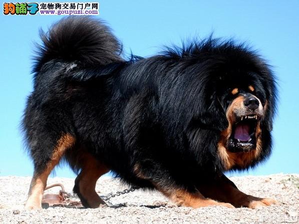 13182559965官方专业认证犬舍猛犬藏獒威镇群兽超霸气