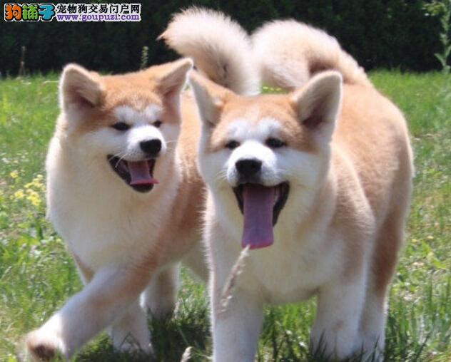 宠物级赛级均有秋田犬高品质忠诚不失萌系13182559965