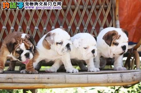 高品质精品纯种健康包养活活动爆款出售中英国斗牛犬