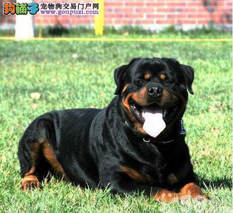 罗威纳犬忠心护主哪里卖13182559965CKU专业认证犬舍