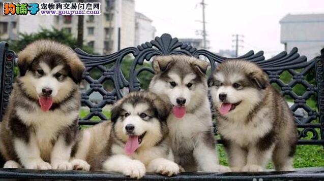 大骨架大毛量阿拉斯加犬哪里卖CKU专业认证纯种犬舍