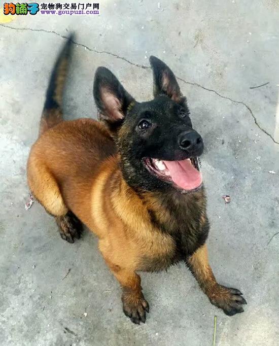 精品马犬售卖13182559965CKU专业认证纯种精品健康犬舍