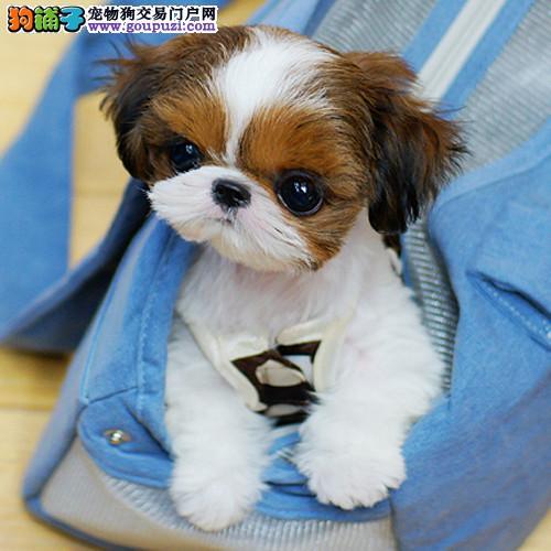 官方推荐精品西施犬各种名犬健康出售CKU专业认证犬舍