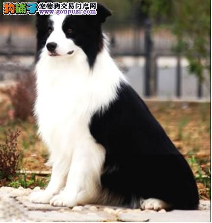 精品高智商边境牧羊犬官方推荐犬舍经营多种纯种名犬