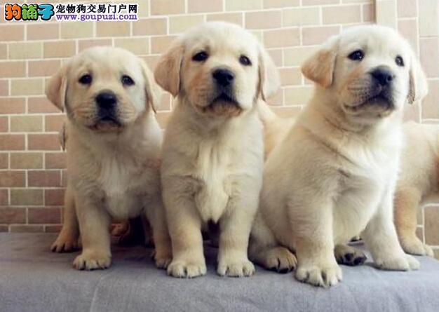 顶级血统精品拉布拉多犬13182559965神犬小七兄弟犬