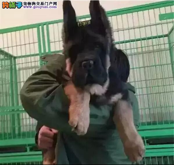 精品纯种忠心护主德国牧羊犬各品种均有官方推荐犬舍