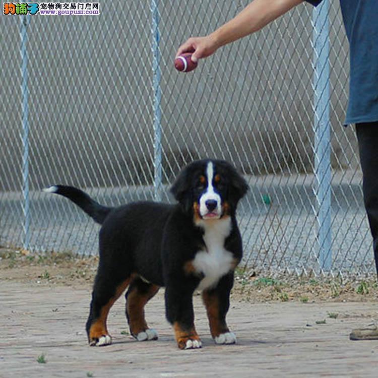 精品伯恩山犬售卖纯种健康包养活各种名犬13182559965