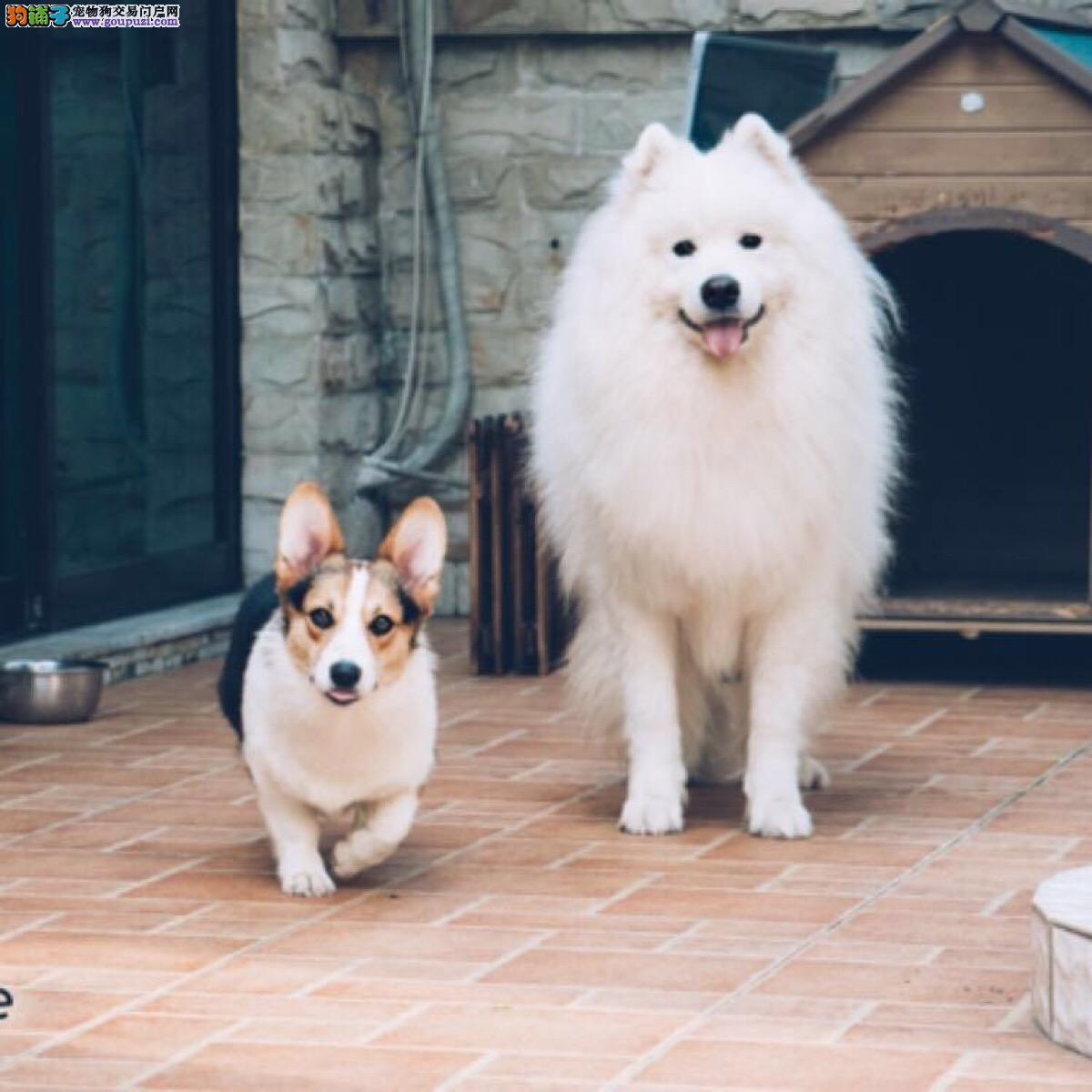官方推荐CKU专业认证犬舍直销纯种健康精品萨摩耶犬