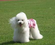 血统纯正贵宾犬健康包养活各色各品种各体型均有出售