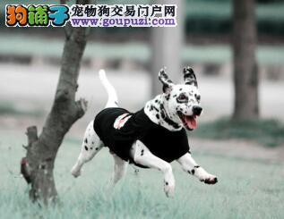 聪明优雅斑点犬13182559965各种名犬精品CKU认证犬舍