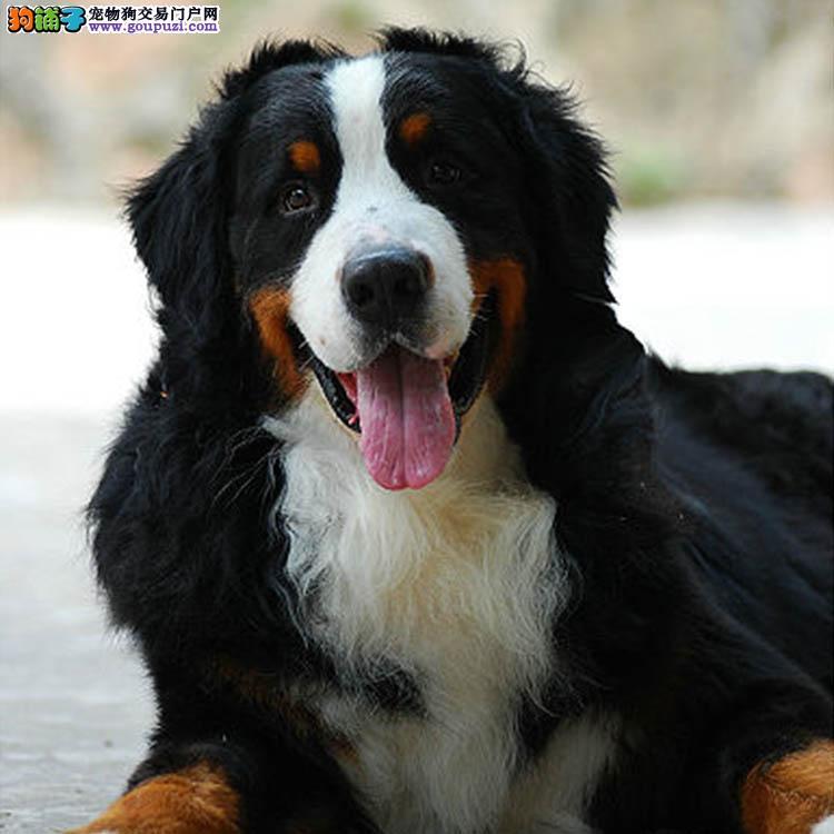哪里出售伯恩山犬纯种健康包养活各种名犬13182559965