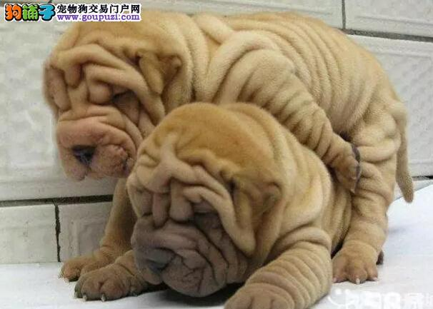 精品沙皮出售13182559965CKU专业认证纯种健康犬舍