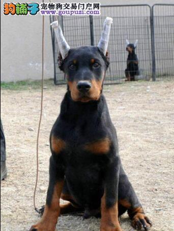 最富智慧绅士杜宾犬13182559965健康精品CKU专业认证