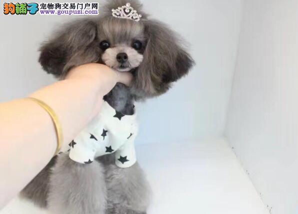 哪里卖精品泰迪犬纯种健康包养活各体型颜色均有特价售