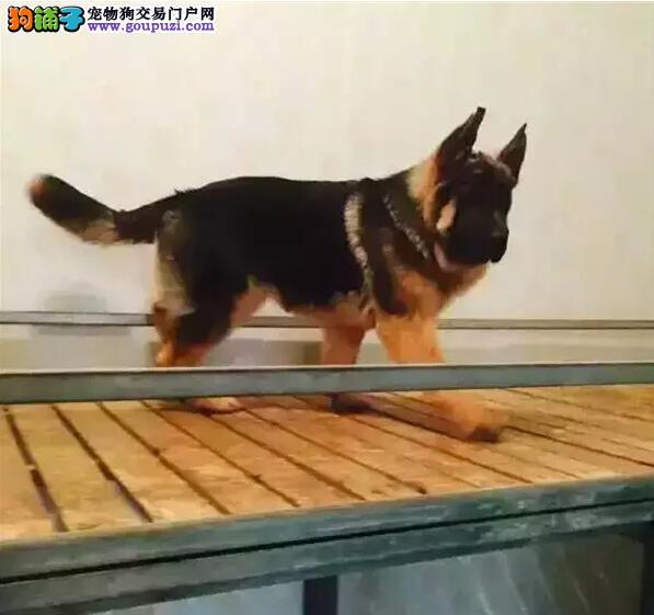 纯种精品高质量昆明犬13182559965和各种名犬促销出售