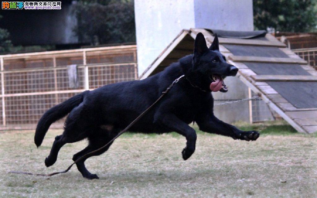 哪里卖精品比利时牧羊犬各种名犬13182559965CKU认证