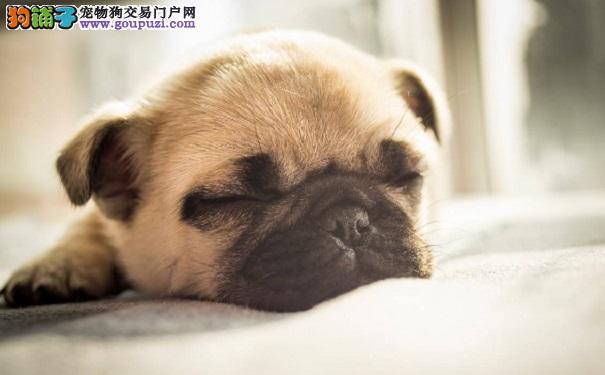 如何选购优质的巴哥幼犬 需要提前做哪些准备