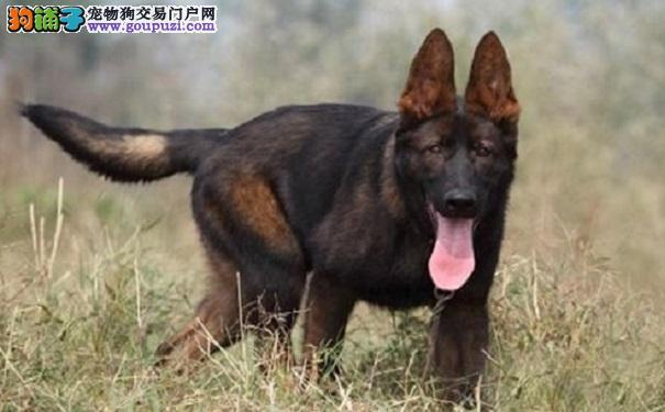 昆明犬的性格特点怎么样 如何选购呢